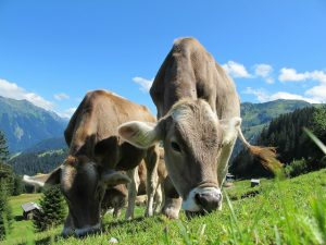 vaca pastando b12